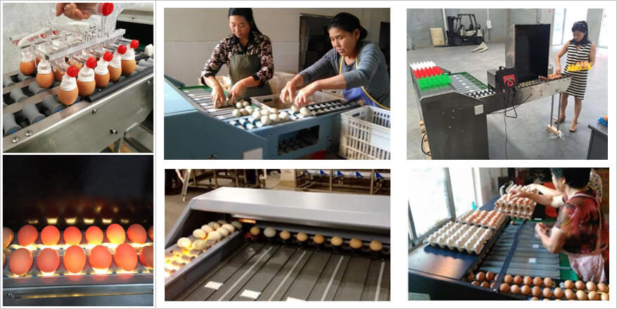 how does egg grader machine sorting eggs